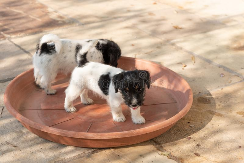 Ein Satz Jack Russell Terrier-Welpen stehen in einer roten Schüssel Hunde sind 7, 5 Wochen alt stockfotografie