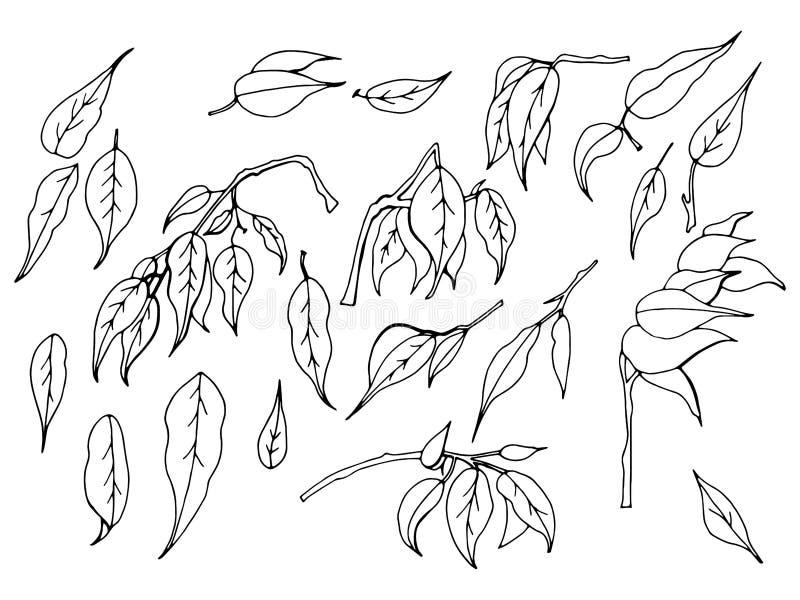 Ein Satz von Hand gezeichnete Schwarzweiss-Blätter des Ficus Benjamin auf einem weißen Hintergrund vektor abbildung
