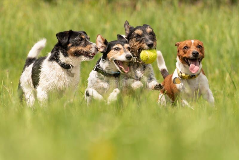 Ein Satz von Jack Russell Terrier laufend und auf einer Wiese spielend lizenzfreie stockbilder