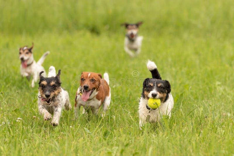 Ein Satz von kleinem Jack Russell Terrier sind, spielend zusammen laufend und in die Wiese mit einem Ball stockbild