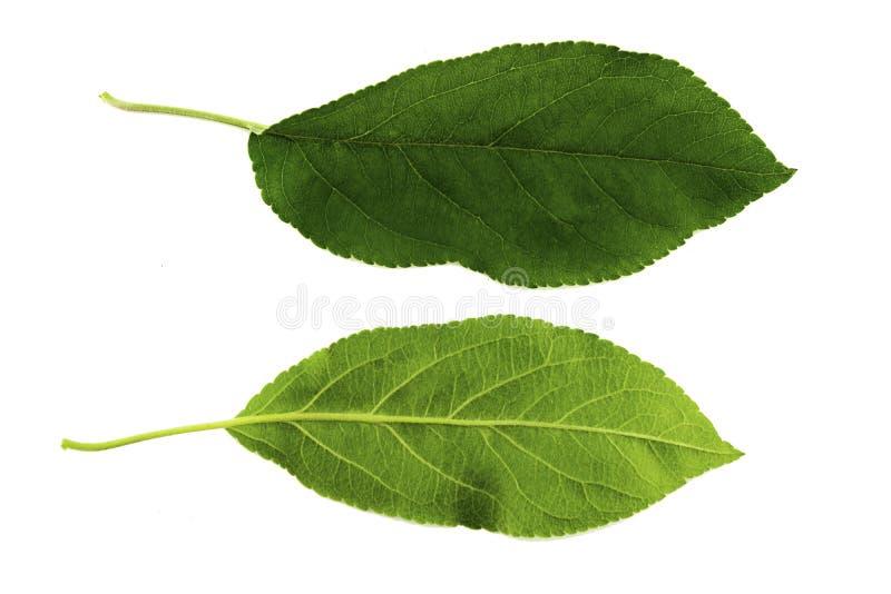 Ein Satz von zwei grünen Blättern eines Apfelbaums lokalisiert auf einem weißen Hintergrund, der Spitze und den Unterseiten eines stockbild