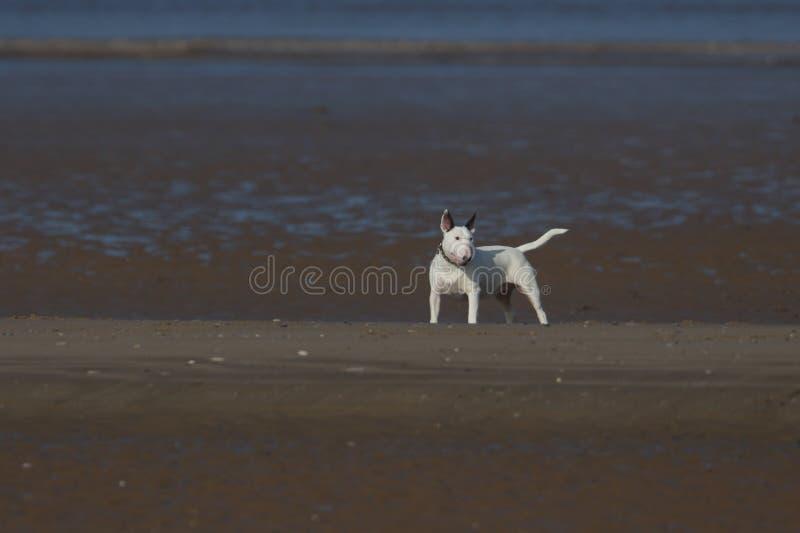 Ein schöner englischer Bullterrier-Hund, der auf einem Strand spielt lizenzfreie stockfotografie