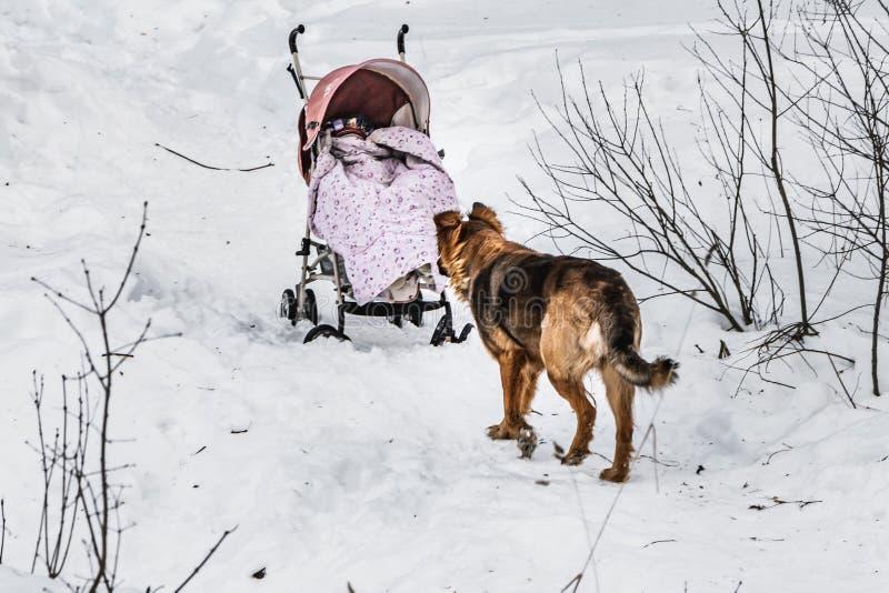 Ein schöner orange großer Hund ist mit einem roten Kinderwagen in einem Winterschneepark stockbild