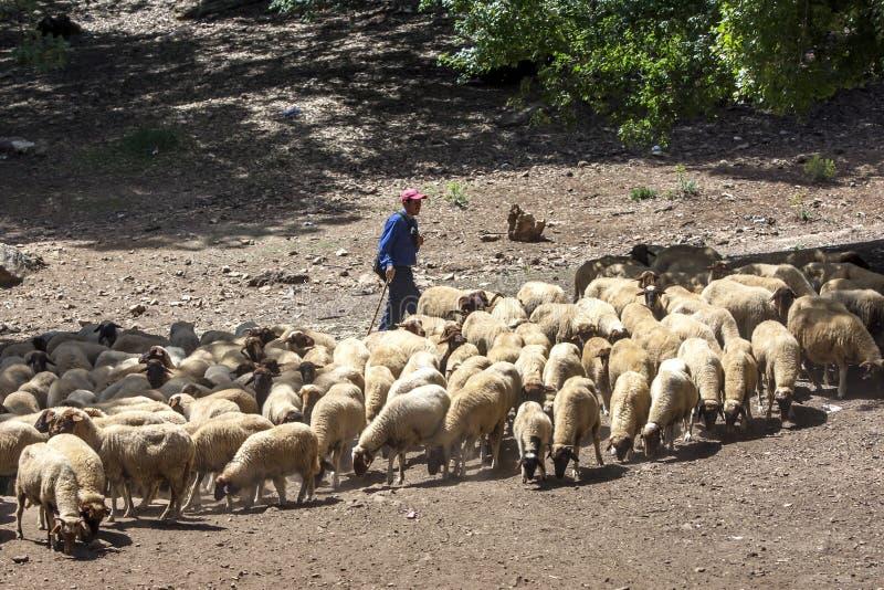 Ein Schäfer lässt seine Schafe auf den Bergen nahe Azrou in Marokko weiden stockfotografie