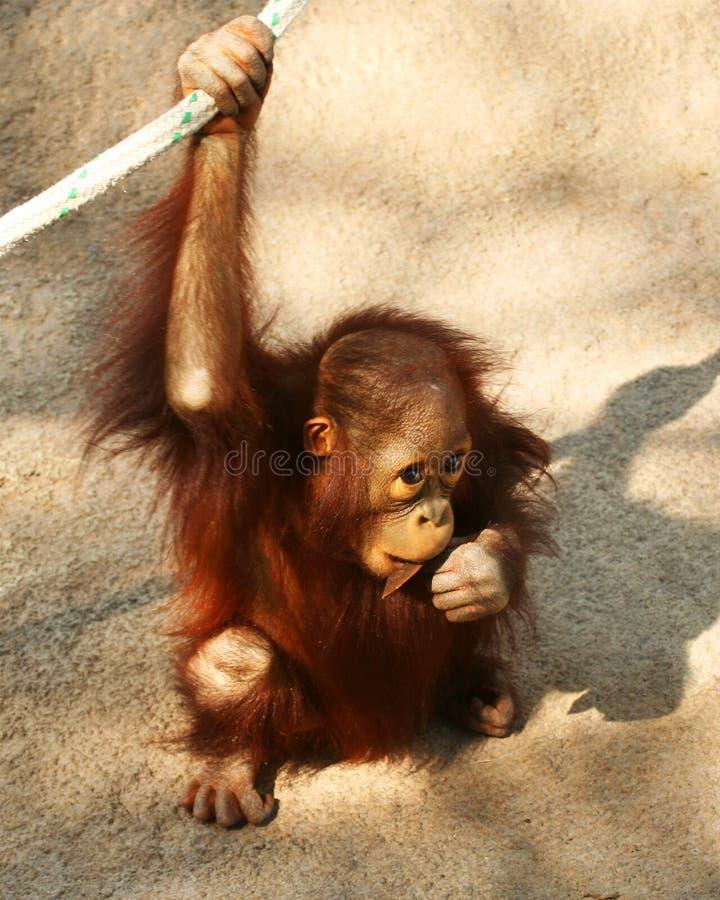 Ein Schätzchen-Orang-Utan kaut auf einem Steuerknüppel lizenzfreie stockbilder