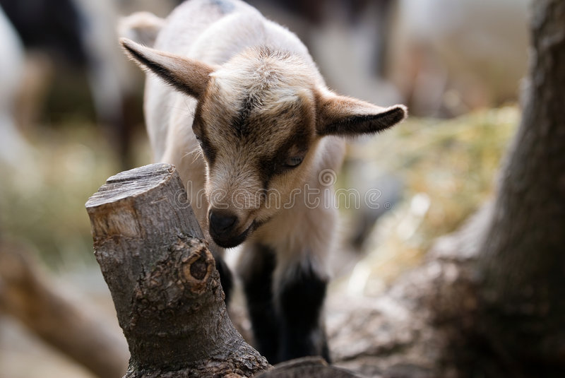Ein Schätzchen-Ziege-Kind stockfotografie