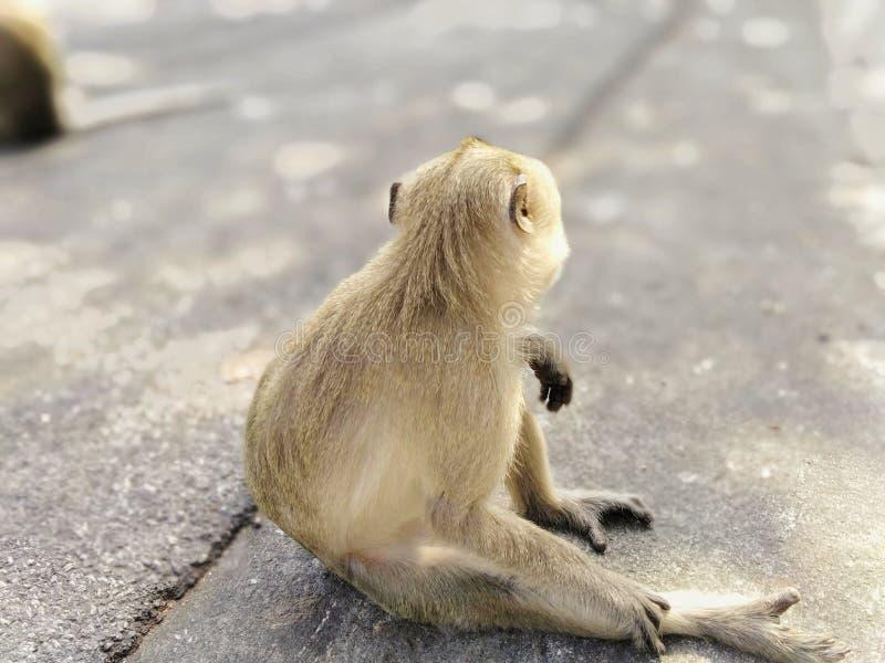 Ein schöner Affe sitzt auf der Straße im Wald lizenzfreie stockbilder