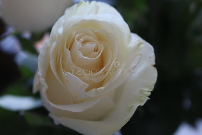 Ein schöner Blumenstrauß von weißen Rosen appelliert jeder Frau Sein k?niglicher Duft erobert jedes stockbild
