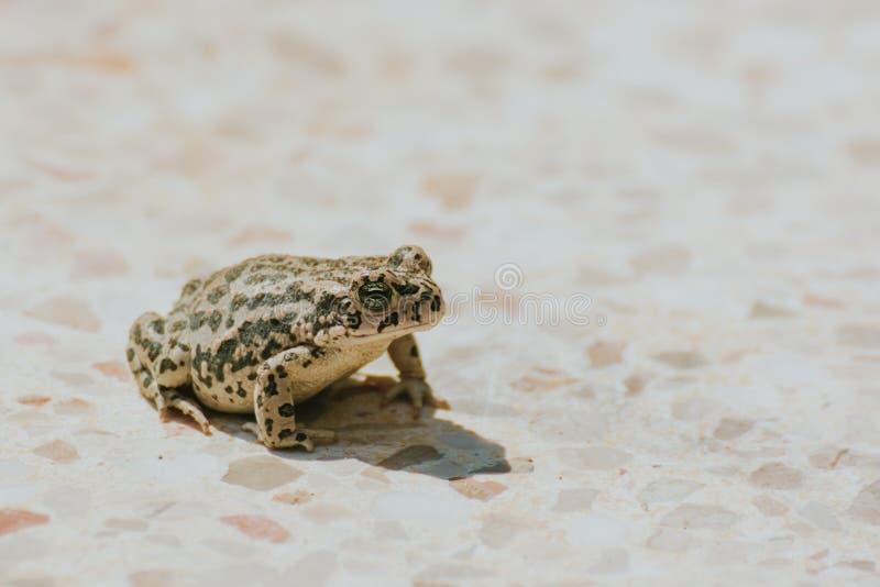 Ein schöner brauner Frosch, der auf einem Boden sitzt, Vorfrühlingslandschaft Neue Lebensdauer im Frühjahr Flache Schärfentiefe lizenzfreies stockbild