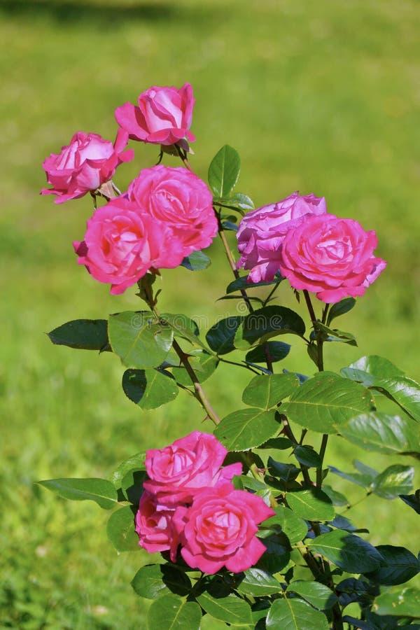 Ein schöner Busch von Rosen mit Grün verlässt auf einem dünnen Stamm Schöne Blumen irgendeines Blumenstraußes lizenzfreie stockbilder