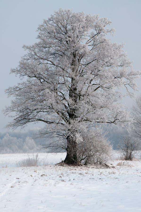 Ein schöner, einsamer, bereifter alter Weidenbaum in einer Wiese im winte stockfotografie