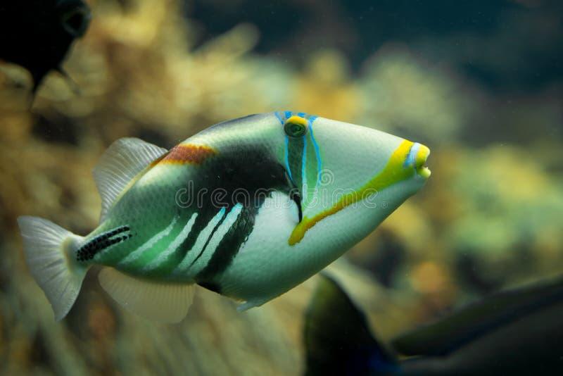 Ein schöner farbiger Picasso-Triggerfish in einem Riffbehälter stockfotos