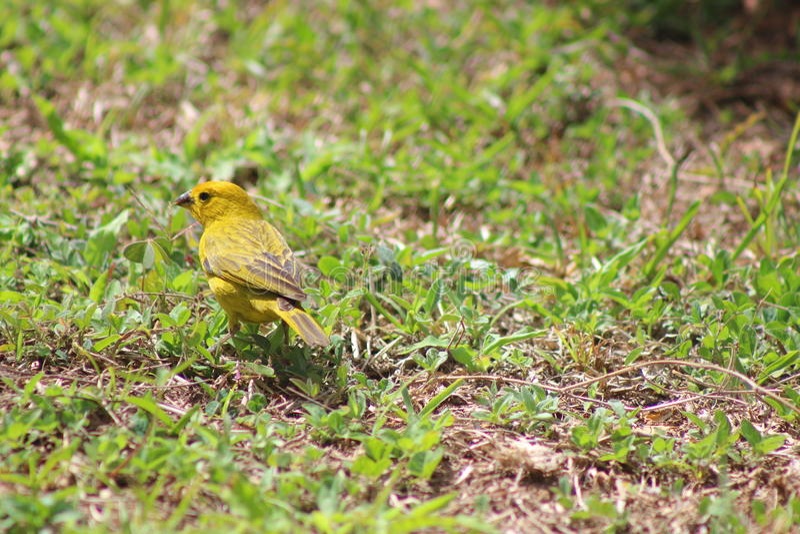 Ein schöner gelber Vogel stockfoto