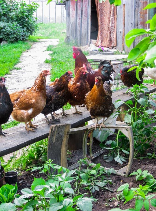 Ein schöner Hahn mit Hennen geht in den Hof eines Dorfhauses Hühner im Yard sitzen auf der Bank und gehen entlang stockfotografie