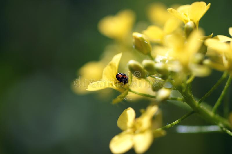 Ein schöner Käfer auf einer kleinen gelben Blume lizenzfreie stockbilder