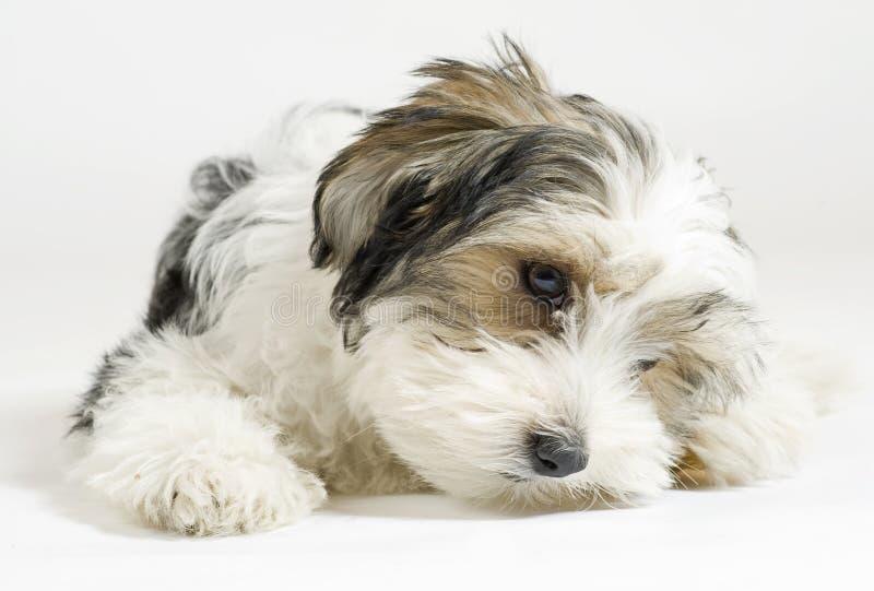 Kleiner langhaariger Mischhund, 16 Wochen, maltesischer und Yorkshire-Terrier lizenzfreies stockbild