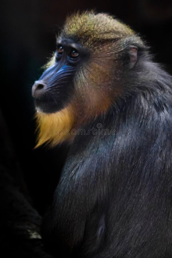 Ein schöner madril Pavian mit dem hellen gelben Haar und blauer Nase auf einem dunklen Hintergrund stockbild