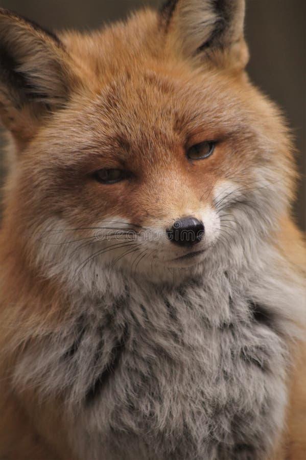 Ein schöner roter Fuchs, der die Kamera betrachtet stockfoto