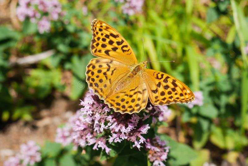 Ein schöner Schmetterling auf Blumen lizenzfreie stockfotografie