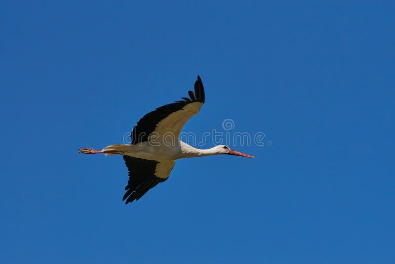 Ein schöner Storch, der zu seinem Nest fliegt lizenzfreie stockfotografie