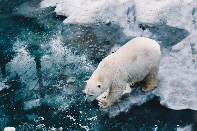 Ein schöner weißer Eisbärweg auf Eisscholle im arktischen Wasser Eisbärmutter Ursus maritimus weißes Tier in der Natur lizenzfreie stockfotos