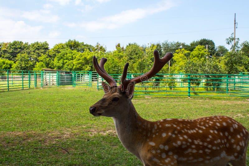 Ein schönes beschmutztes liebes im Zoo lizenzfreie stockbilder