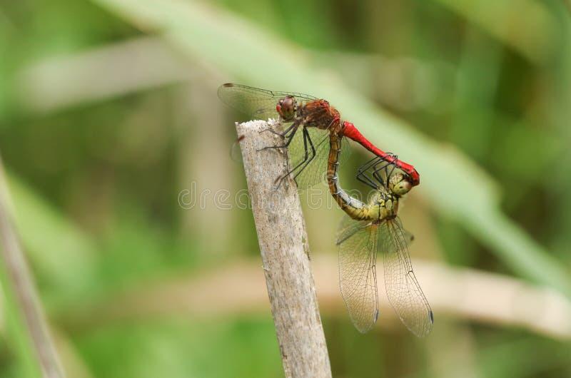Ein schönes fügendes Paar von Ruddy Darter Dragonfly, Sympetrum-sanguineum, gehockt auf einem Schilf am Rand von einem Teich stockfotografie