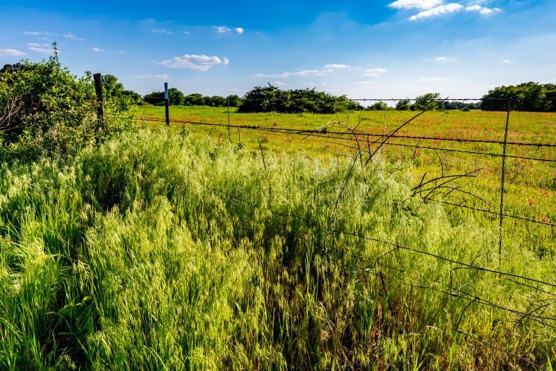 Ein schönes Feld des Leuchtorange-indischen Malerpinsels in Oklahoma lizenzfreie stockbilder