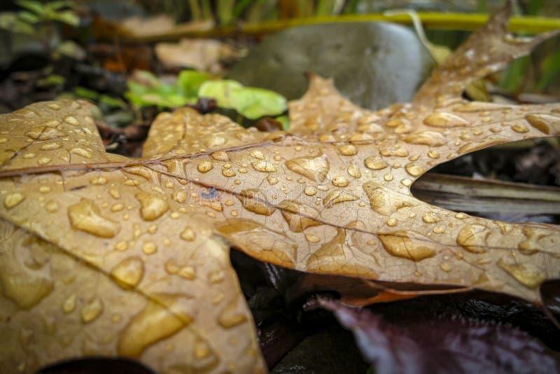 Ein schönes geschnitztes Blatt der roten Eiche in der Regentröpfchennahaufnahme liegt auf nassen Steinen Herbstmotiv für Design stockbilder