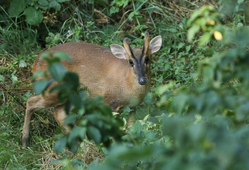 Ein schönes Hirsch Muntjac-Rotwild, Muntiacus reevesi, stehend in der Vegetation am Rand des Waldlandes stockfoto