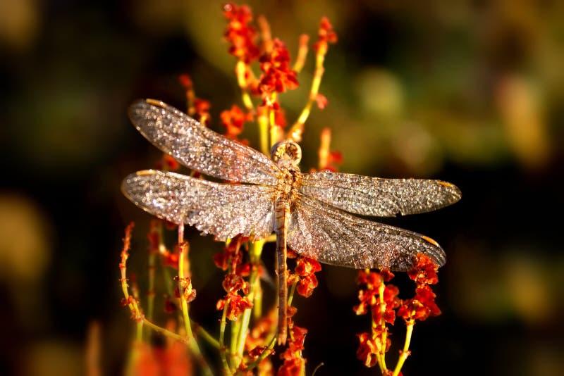 Ein schönes Insekt eines Libelle Sympetrum-vulgatum gegen einen Hintergrund des grünen vegetativen natürlichen Hintergrundes tone stockfoto