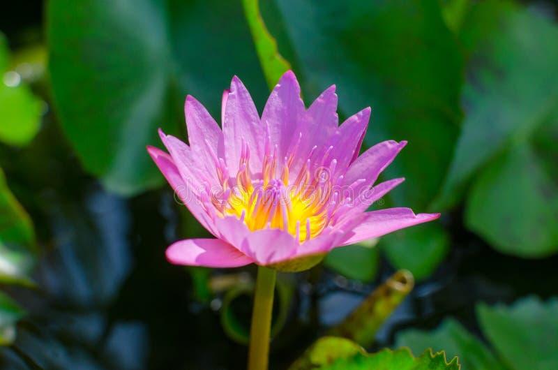 Ein schönes Rosa waterlily oder Lotosblume im Teich mit Biene lizenzfreies stockbild