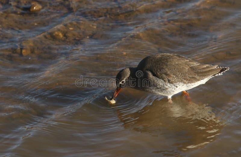 Ein schönes Rotschenkel Tringa totanus mit Nahrung in seinem Schnabel, den er gerade ungefähr zu essen gefangen in einer Seemündu lizenzfreie stockfotografie