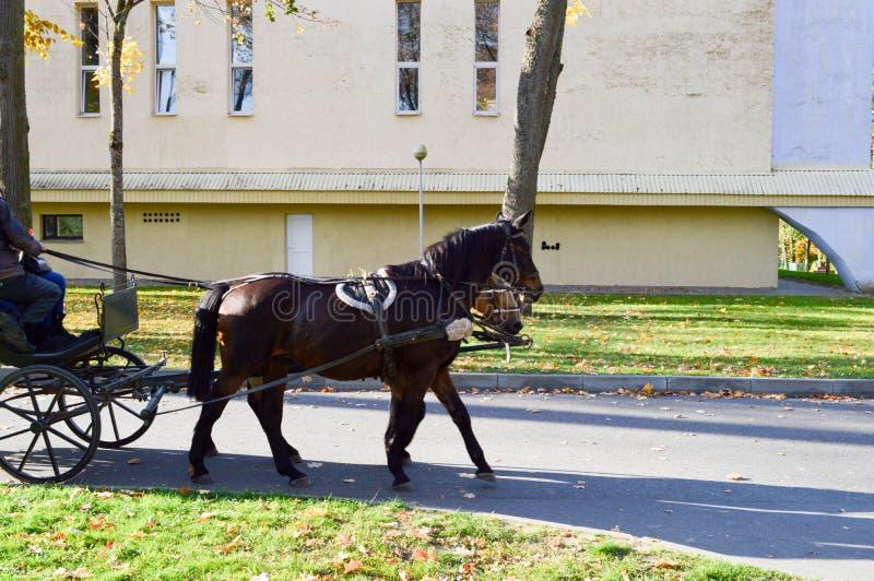 Ein schönes schwarzes starkes Pferd im Geschirr zieht den Wagen im Park auf einer Asphaltstraße stockfotografie