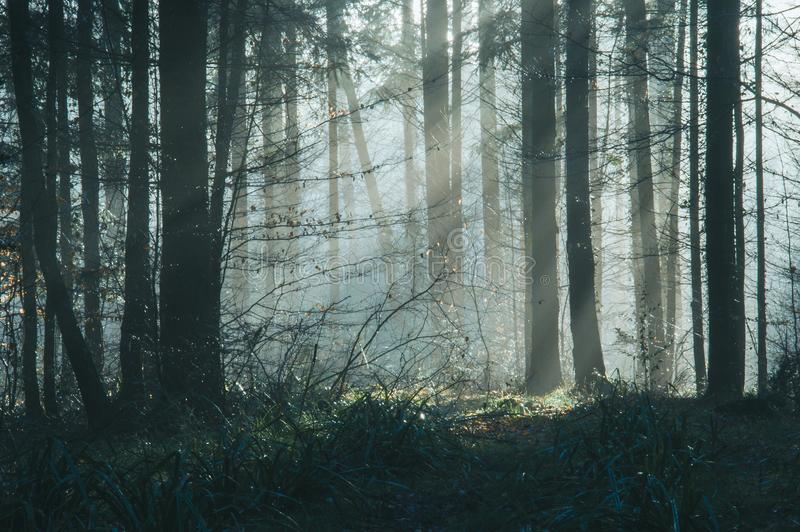 Ein sch?n schwerm?tiger Wald mit den Sonnenstrahlen, die durch die B?ume an einem nebelhaften Wintertag kommen lizenzfreie stockfotos