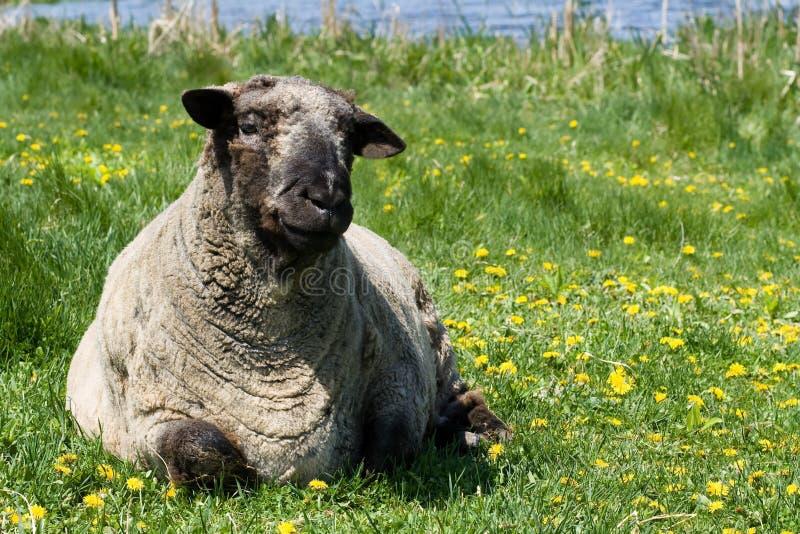 Ein Schaf, das im Gras durch ruhiges Wasser stillsteht. lizenzfreies stockbild