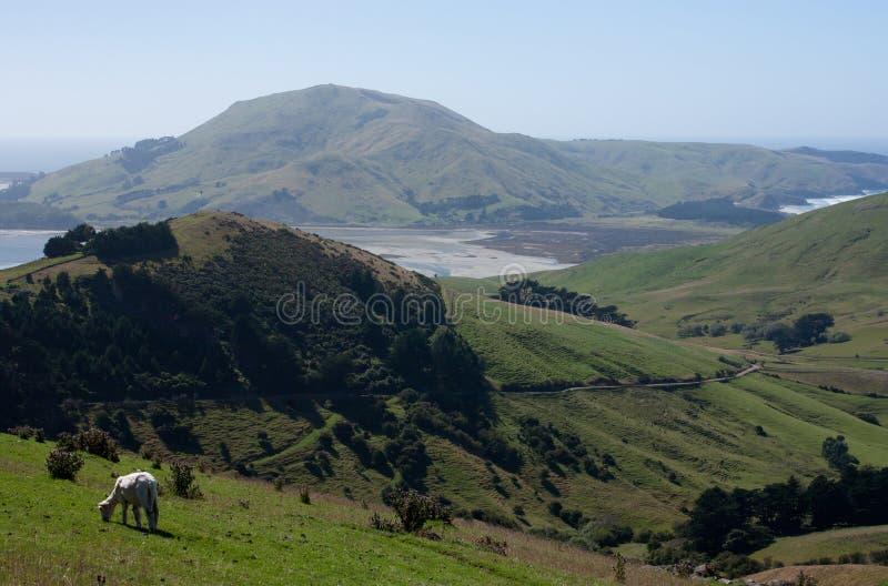 Ein Schaf, das im Vordergrund in Otago-Halbinsel nahe Dunedin in Neuseeland aufwirft lizenzfreie stockbilder