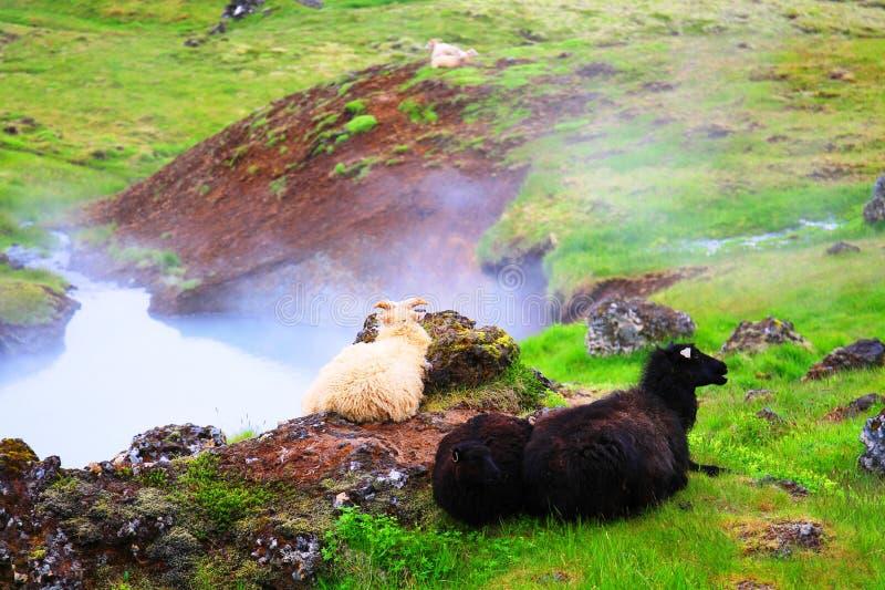 Ein Schaf, das nahe thermischem Fluss Reykjadalur-heißer Quelle stillsteht, stockfotografie