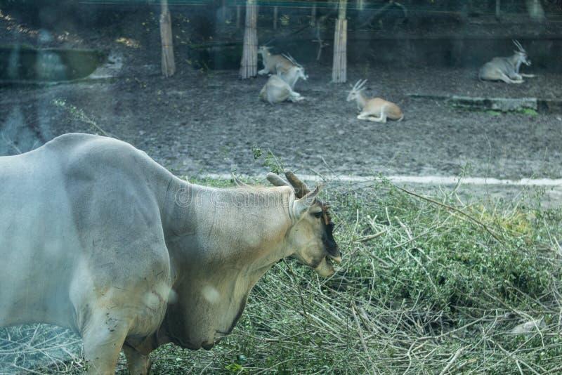 Ein Schaf lässt weiden und Menge in Chongqing Zoo lizenzfreies stockfoto