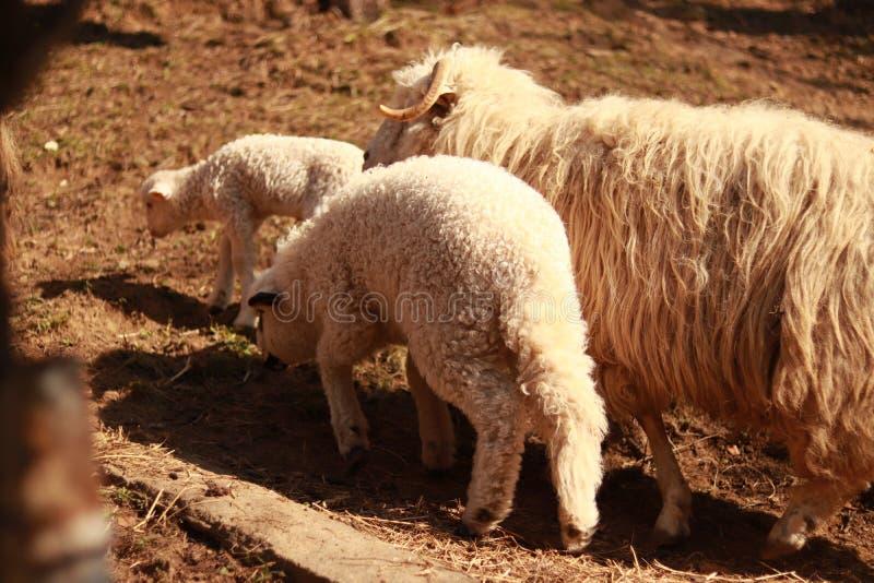 Ein Schaf mit einem Lamm lizenzfreie stockfotografie