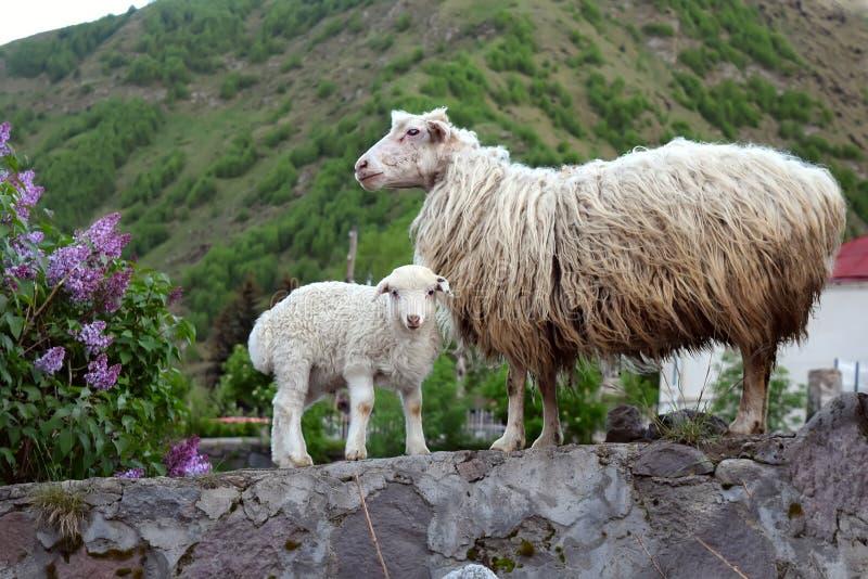 Ein Schaf und ein Lamm im Bergdorf stockfotografie