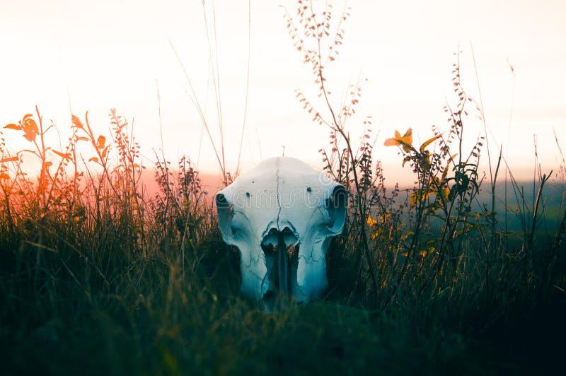 Ein Schafschädel, der im Gras bei Sonnenuntergang liegt stockbild