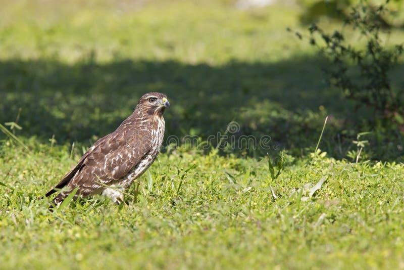 Ein scharf-hinaufgeklettertes Falke Accipiter striatus gehockt in einer Wiese an einem heißen Tag in Florida lizenzfreies stockfoto