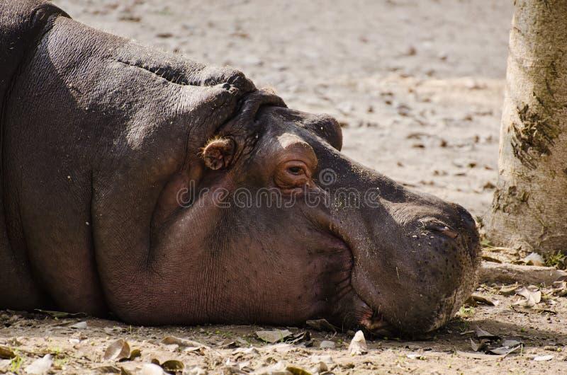 Ein schläfriges Flusspferd stockfoto