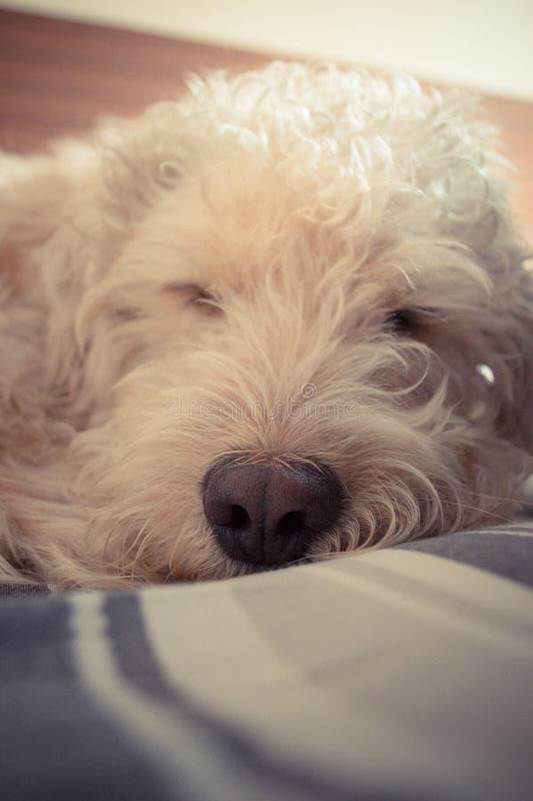 Ein Schlafenhund auf Bett lizenzfreies stockfoto