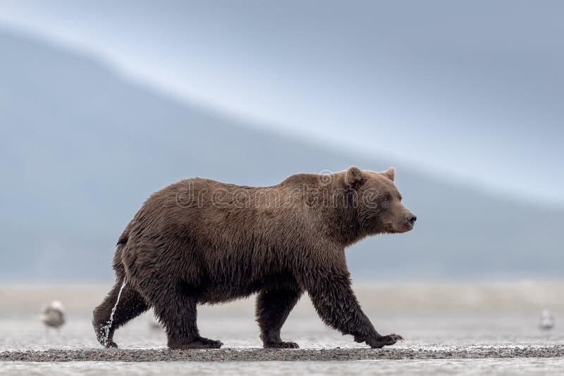 Ein Schlendern, weiblicher Grizzlybär, pinkelnd auf dem Strand stockfotos