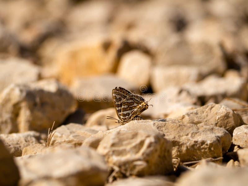 Ein Schmetterling auf dem Felsen stockbild