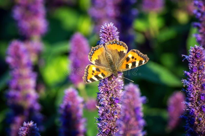 Ein Schmetterling auf einer purpurroten Hyazinthenblume lizenzfreies stockfoto