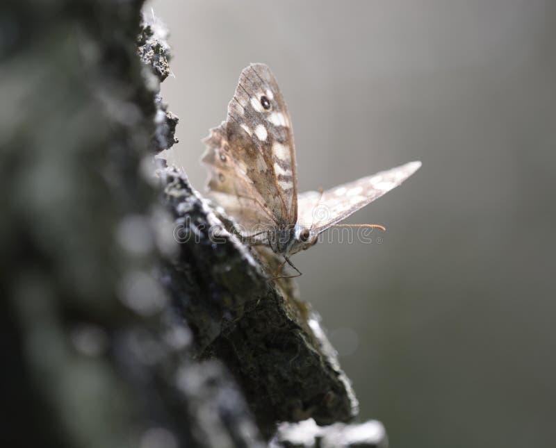 Ein Schmetterling sprenkelte Holz, Pararge-aegeria lizenzfreies stockbild