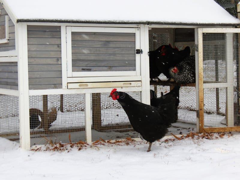 Ein Schnee bedeckte Hühnerstall-Schutz-Hennen, während man heraus in den Sturm riskiert lizenzfreies stockbild
